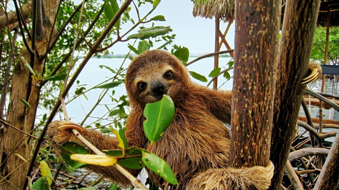 A sloth eating a leaf in a tree.