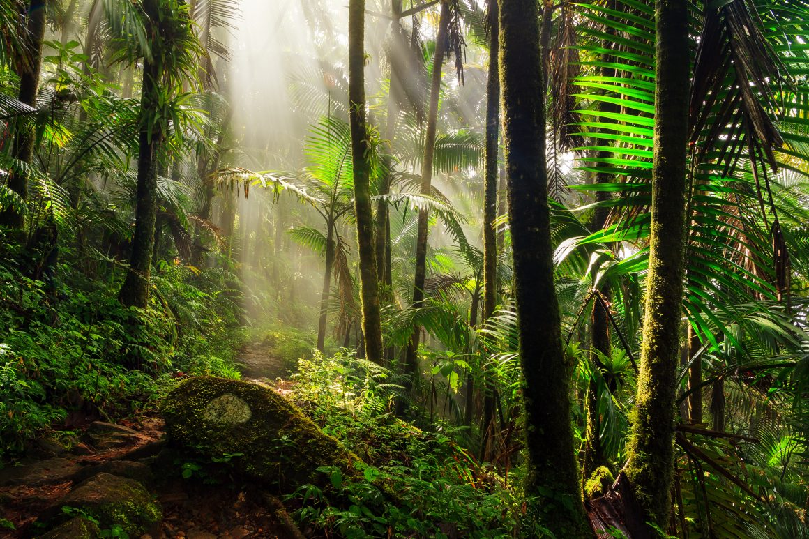 Sun filtering through the trees of El Yunque tropical rainforest onto a hiking path.